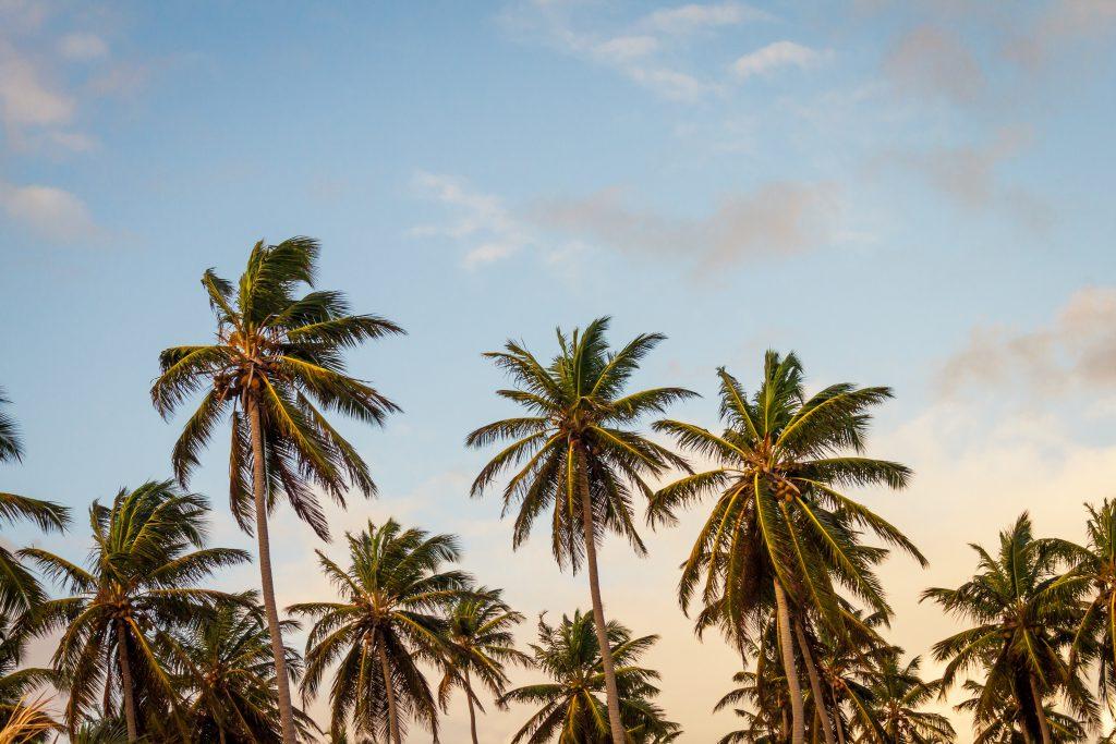 Palmer, dock inte de som tillverkar palmolja